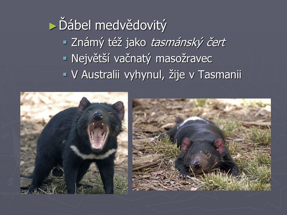 Ďábel medvědovitý Známý též jako tasmánský čert