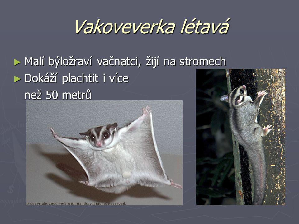 Vakoveverka létavá Malí býložraví vačnatci, žijí na stromech