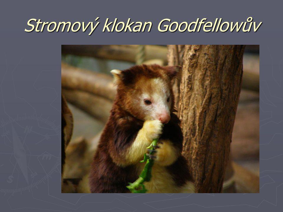 Stromový klokan Goodfellowův
