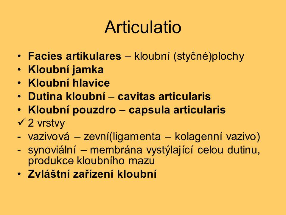 Articulatio Facies artikulares – kloubní (styčné)plochy Kloubní jamka