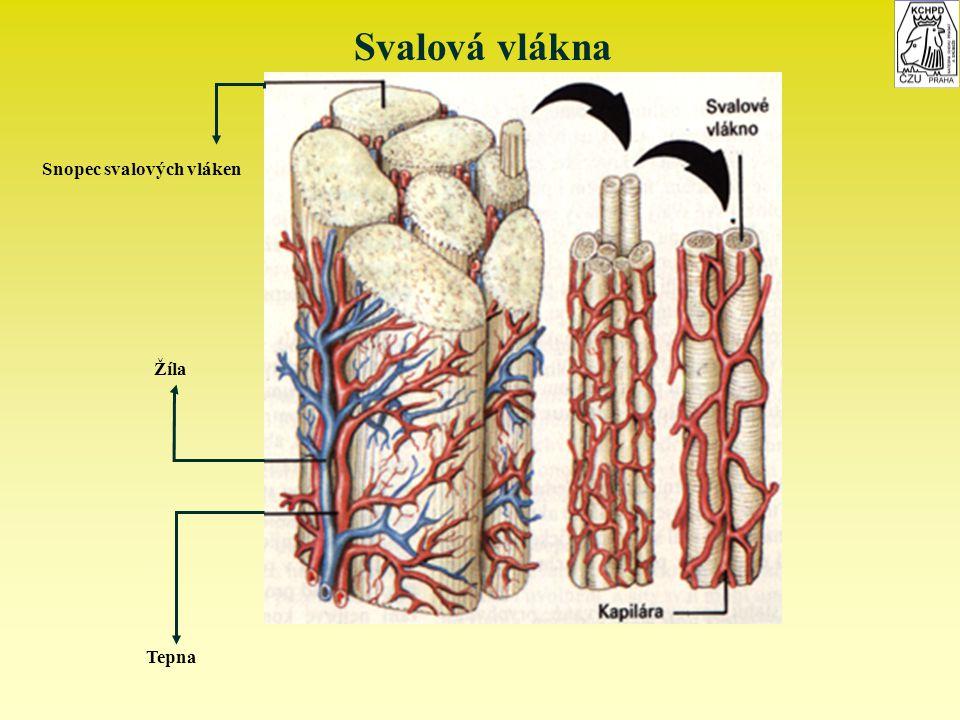 Svalová vlákna Snopec svalových vláken Žíla Tepna