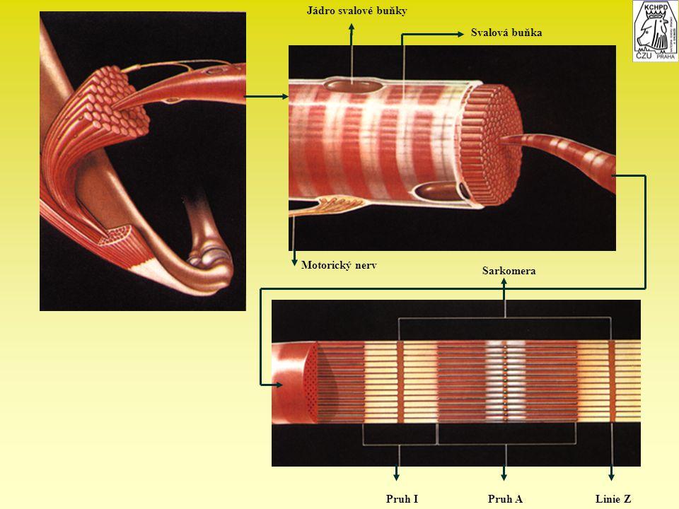 Jádro svalové buňky Svalová buňka Motorický nerv Sarkomera Pruh I Pruh A Linie Z