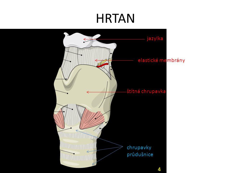 HRTAN jazylka elastické membrány štítná chrupavka chrupavky průdušnice