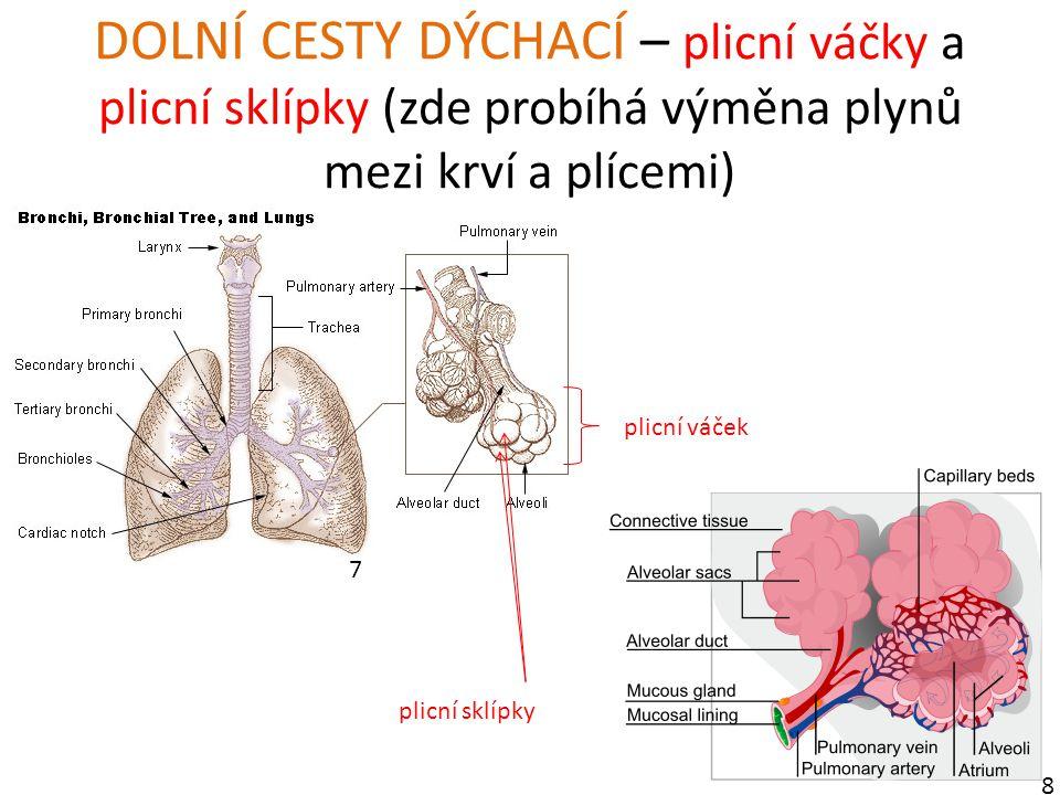 DOLNÍ CESTY DÝCHACÍ – plicní váčky a plicní sklípky (zde probíhá výměna plynů mezi krví a plícemi)