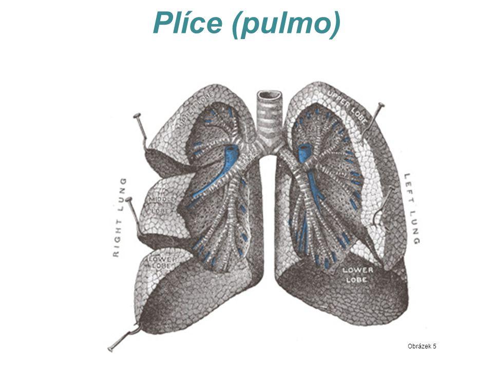 Plíce (pulmo) Obrázek 5