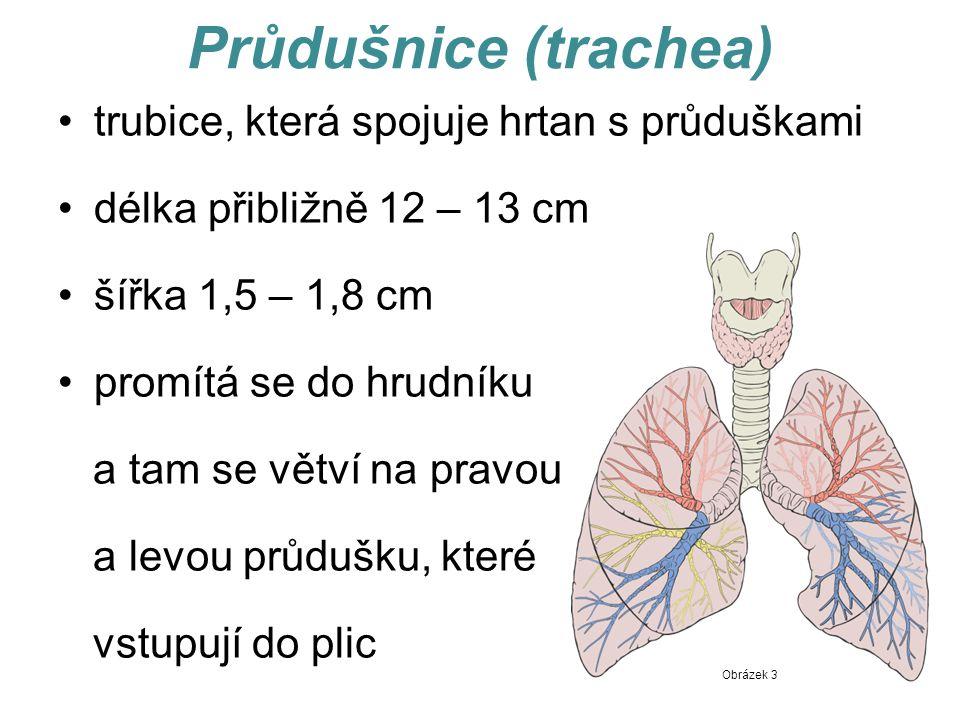 Průdušnice (trachea) trubice, která spojuje hrtan s průduškami