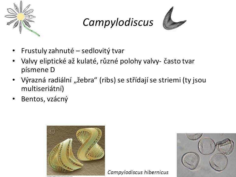 Campylodiscus Frustuly zahnuté – sedlovitý tvar