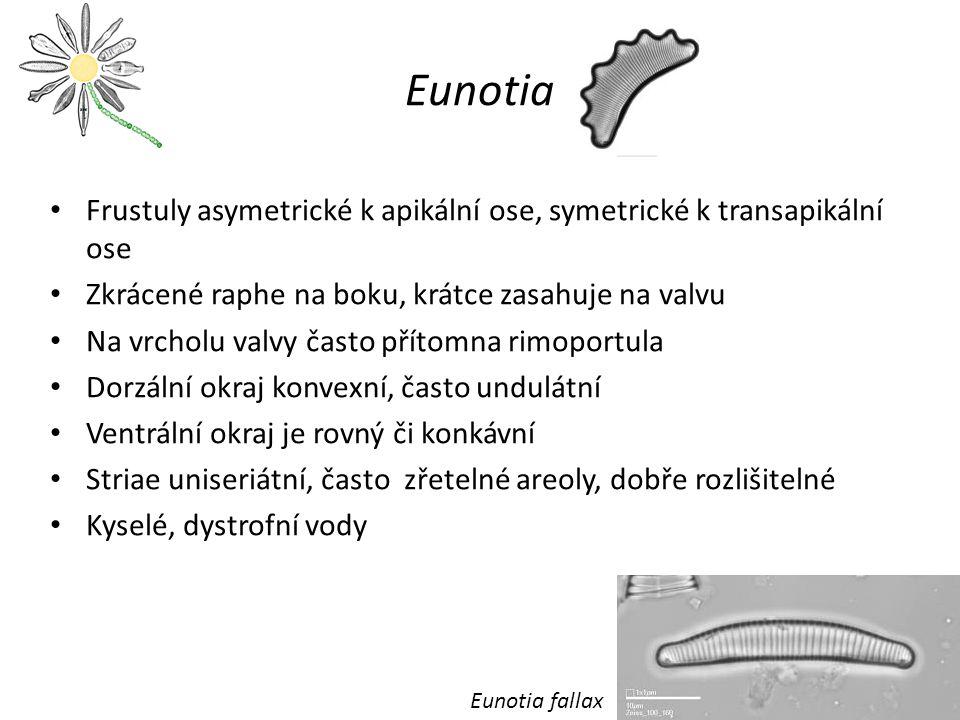 Eunotia Frustuly asymetrické k apikální ose, symetrické k transapikální ose. Zkrácené raphe na boku, krátce zasahuje na valvu.