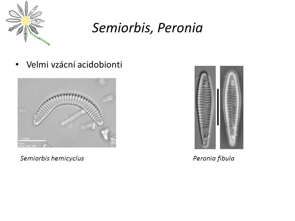 Semiorbis, Peronia Velmi vzácní acidobionti Semiorbis hemicyclus