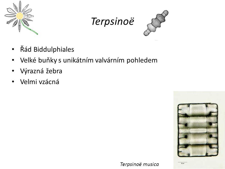 Terpsinoë Řád Biddulphiales Velké buňky s unikátním valvárním pohledem