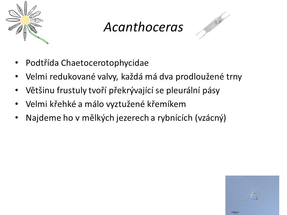 Acanthoceras Podtřída Chaetocerotophycidae