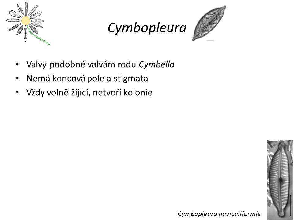 Cymbopleura Valvy podobné valvám rodu Cymbella