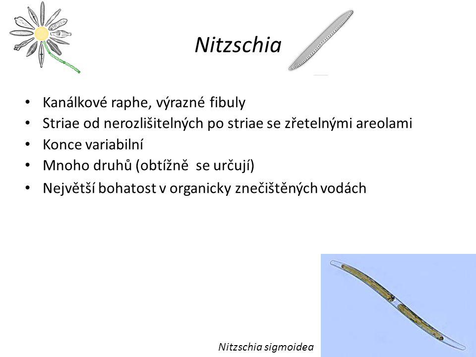 Nitzschia Kanálkové raphe, výrazné fibuly