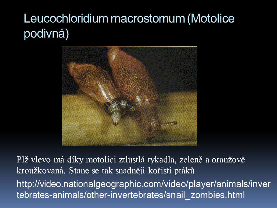 Leucochloridium macrostomum (Motolice podivná)