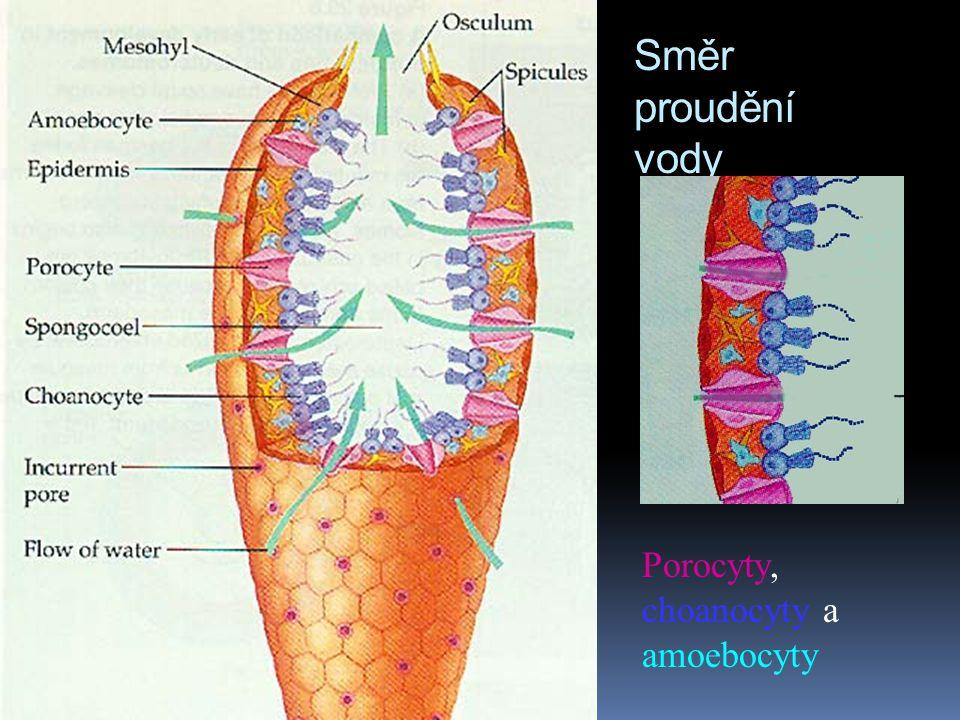 Směr proudění vody Porocyty, choanocyty a amoebocyty