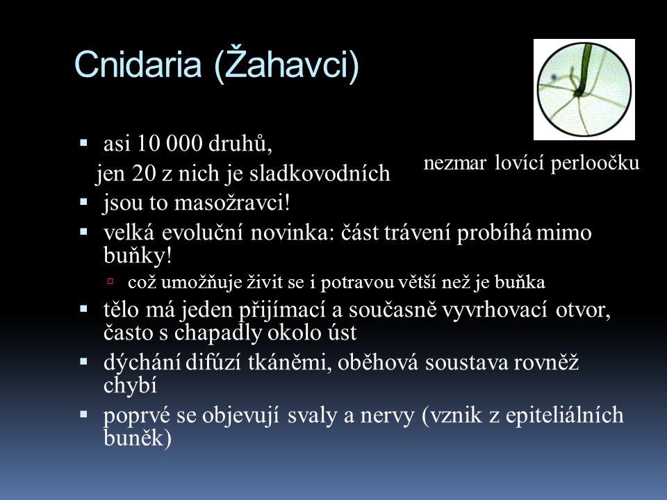 Cnidaria (Žahavci) asi 10 000 druhů, jen 20 z nich je sladkovodních