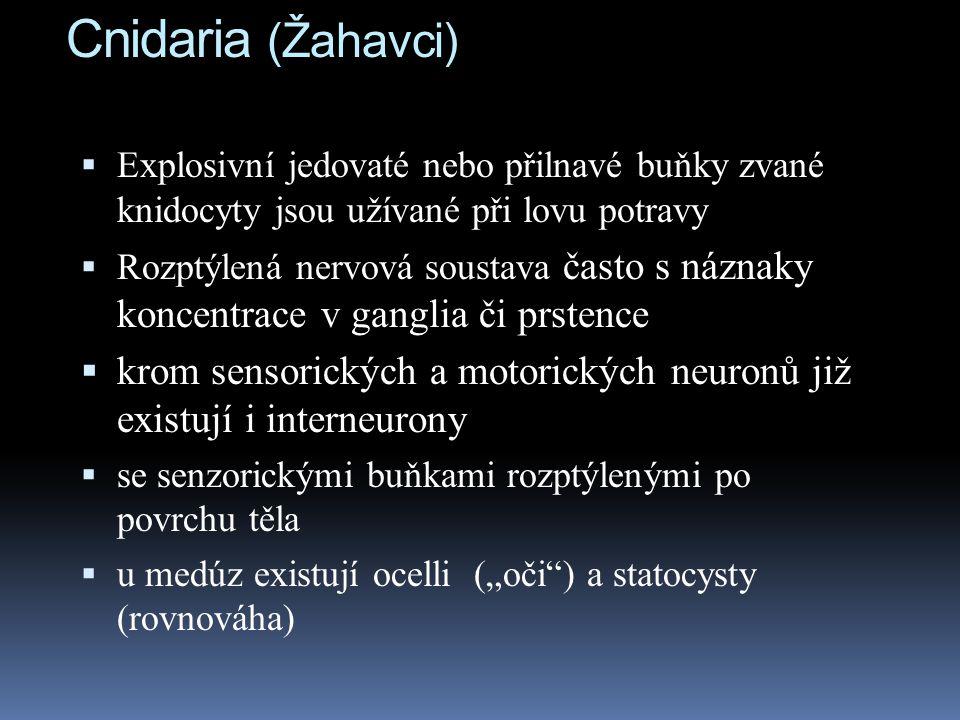 Cnidaria (Žahavci) Explosivní jedovaté nebo přilnavé buňky zvané knidocyty jsou užívané při lovu potravy.