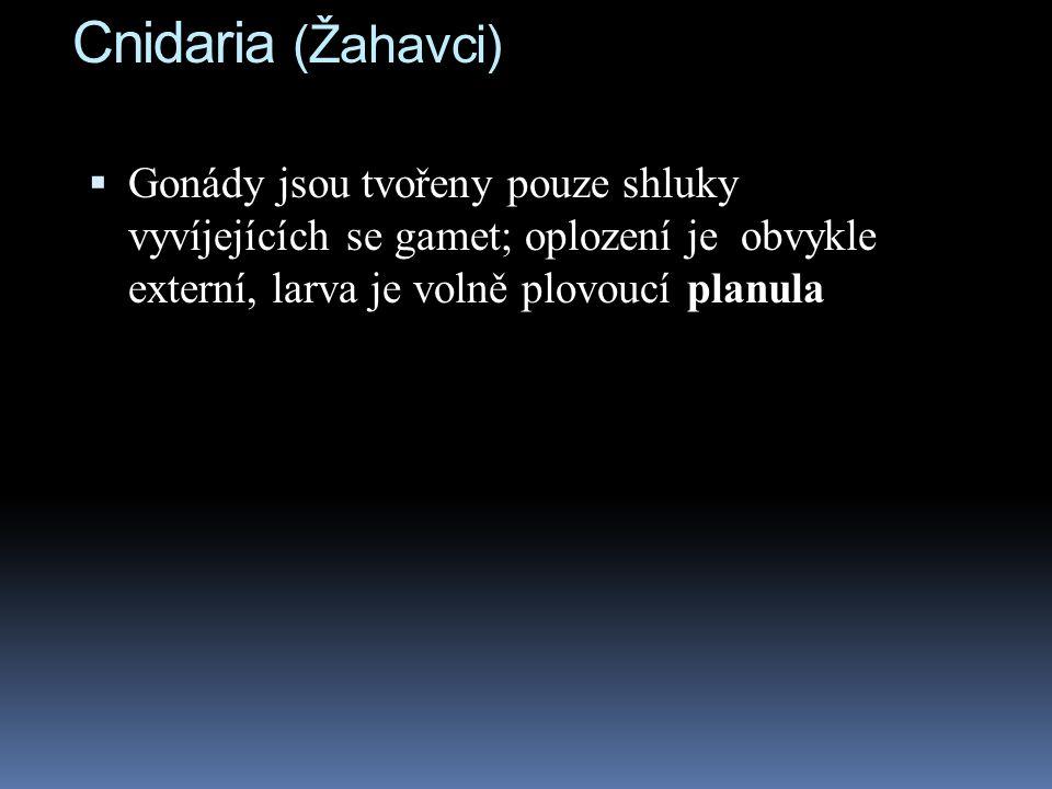 Cnidaria (Žahavci) Gonády jsou tvořeny pouze shluky vyvíjejících se gamet; oplození je obvykle externí, larva je volně plovoucí planula.