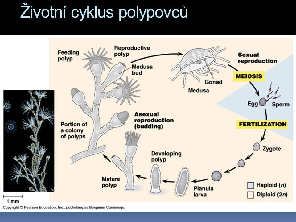 Životní cyklus polypovců