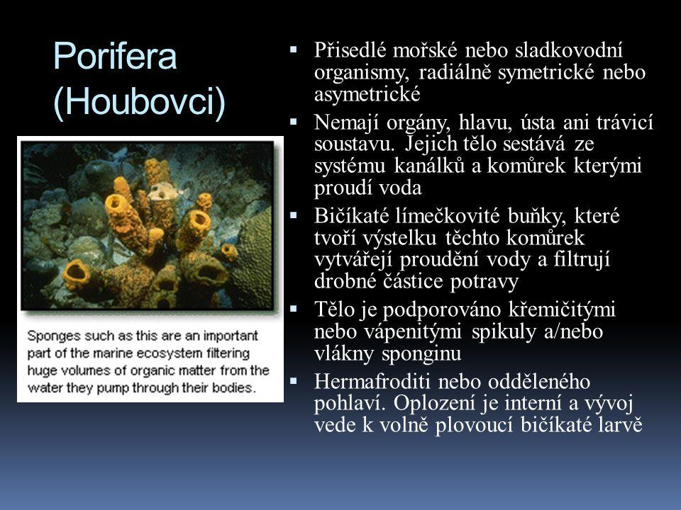Porifera (Houbovci) Přisedlé mořské nebo sladkovodní organismy, radiálně symetrické nebo asymetrické.