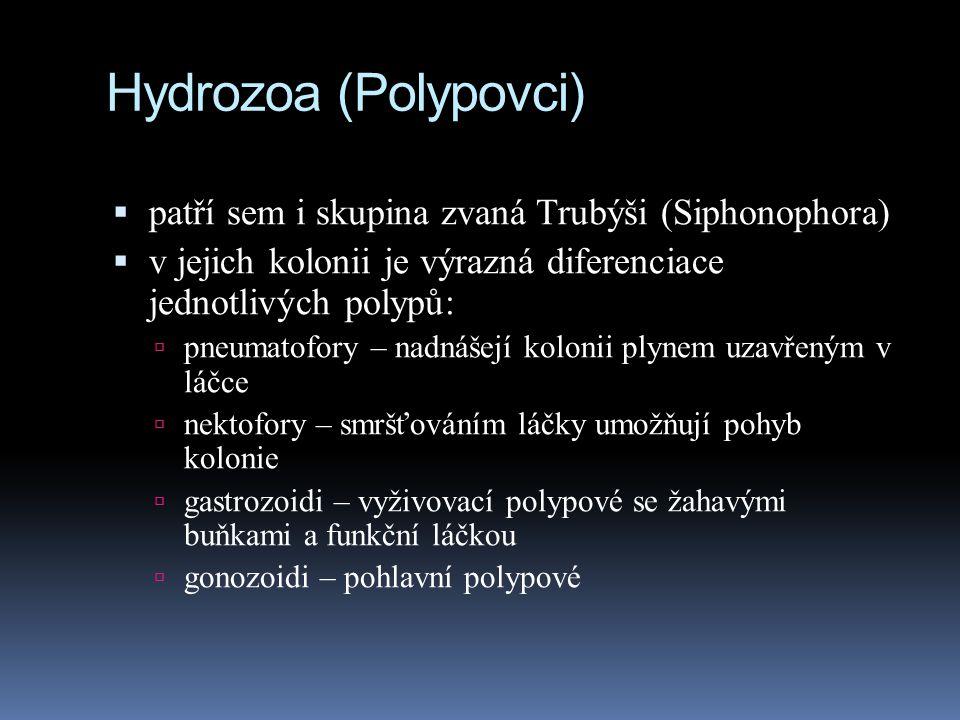 Hydrozoa (Polypovci) patří sem i skupina zvaná Trubýši (Siphonophora)