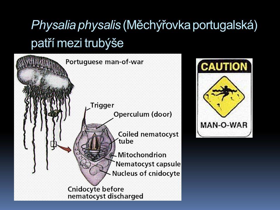 Physalia physalis (Měchýřovka portugalská) patří mezi trubýše
