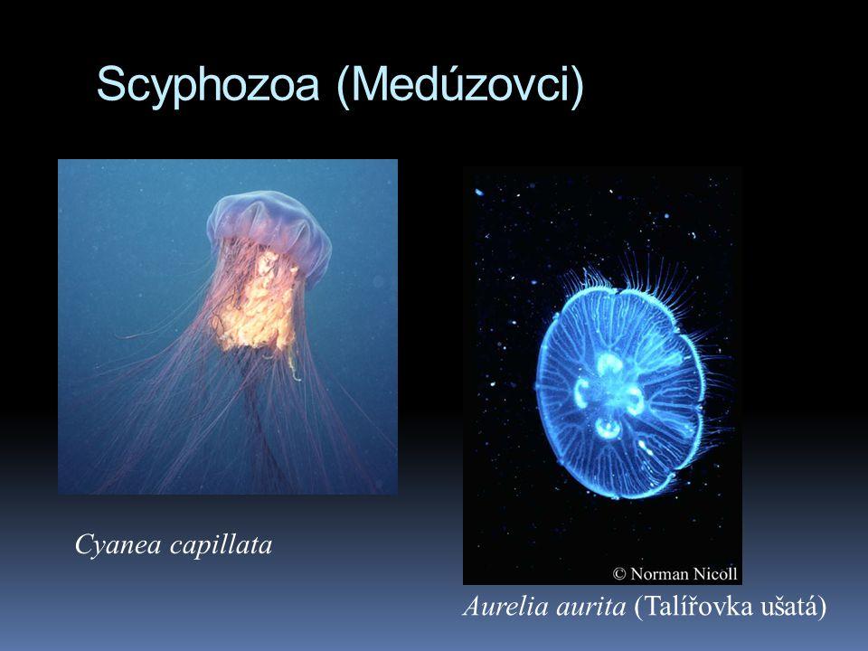 Scyphozoa (Medúzovci)