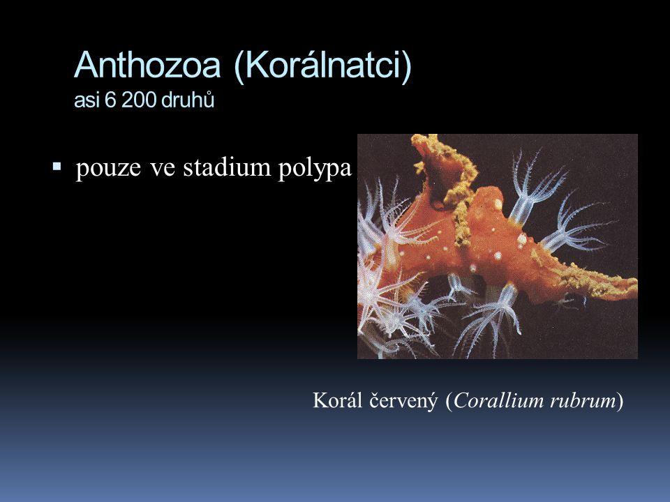 Anthozoa (Korálnatci) asi 6 200 druhů