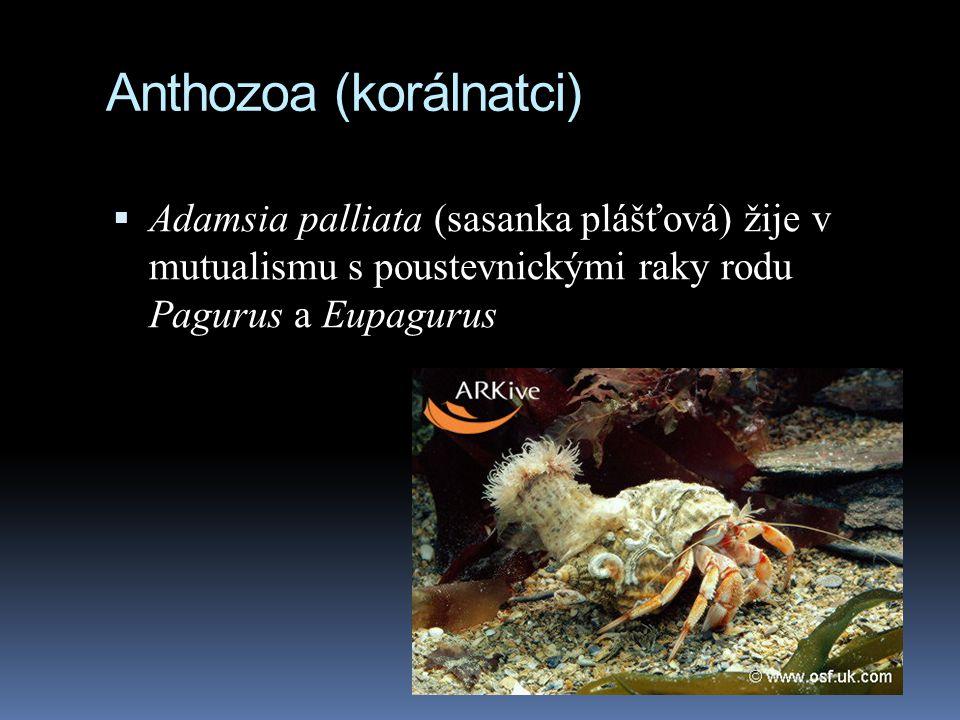 Anthozoa (korálnatci)
