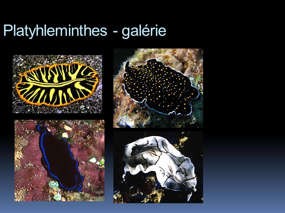 Platyhleminthes - galérie