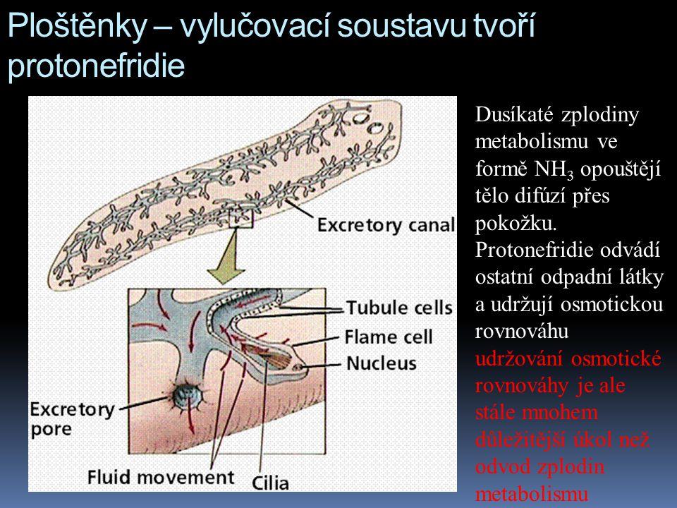 Ploštěnky – vylučovací soustavu tvoří protonefridie