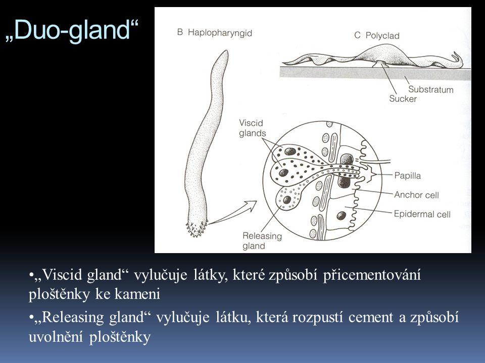 """""""Duo-gland """"Viscid gland vylučuje látky, které způsobí přicementování ploštěnky ke kameni."""