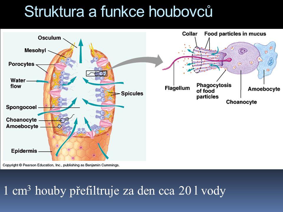 Struktura a funkce houbovců