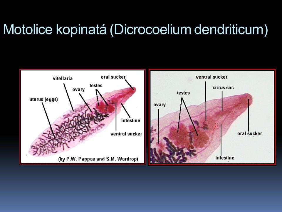 Motolice kopinatá (Dicrocoelium dendriticum)
