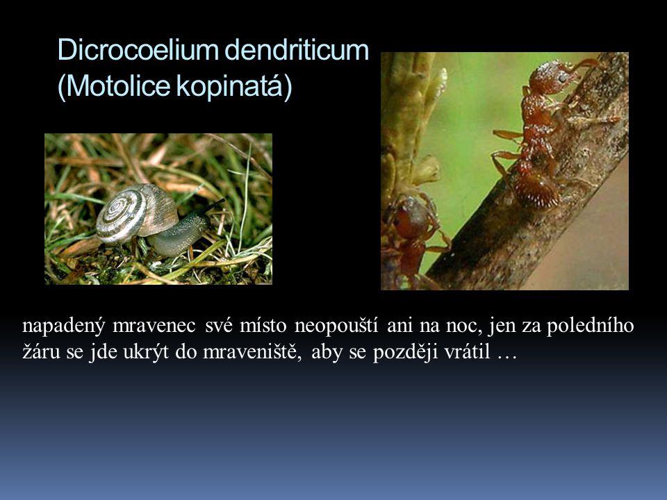 Dicrocoelium dendriticum (Motolice kopinatá)