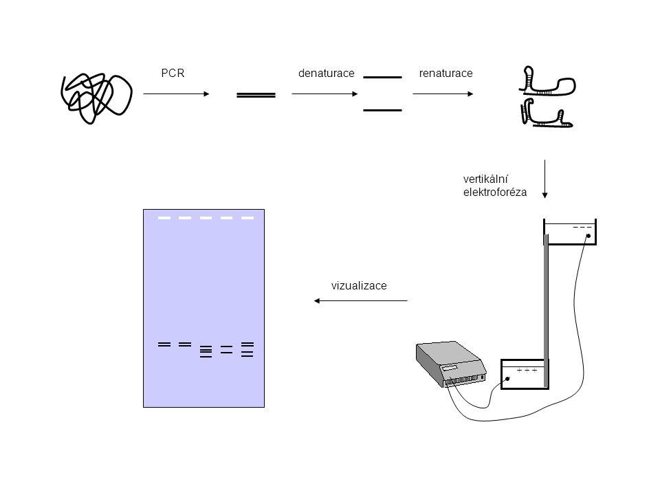 PCR denaturace renaturace vertikální elektroforéza vizualizace _ _ _