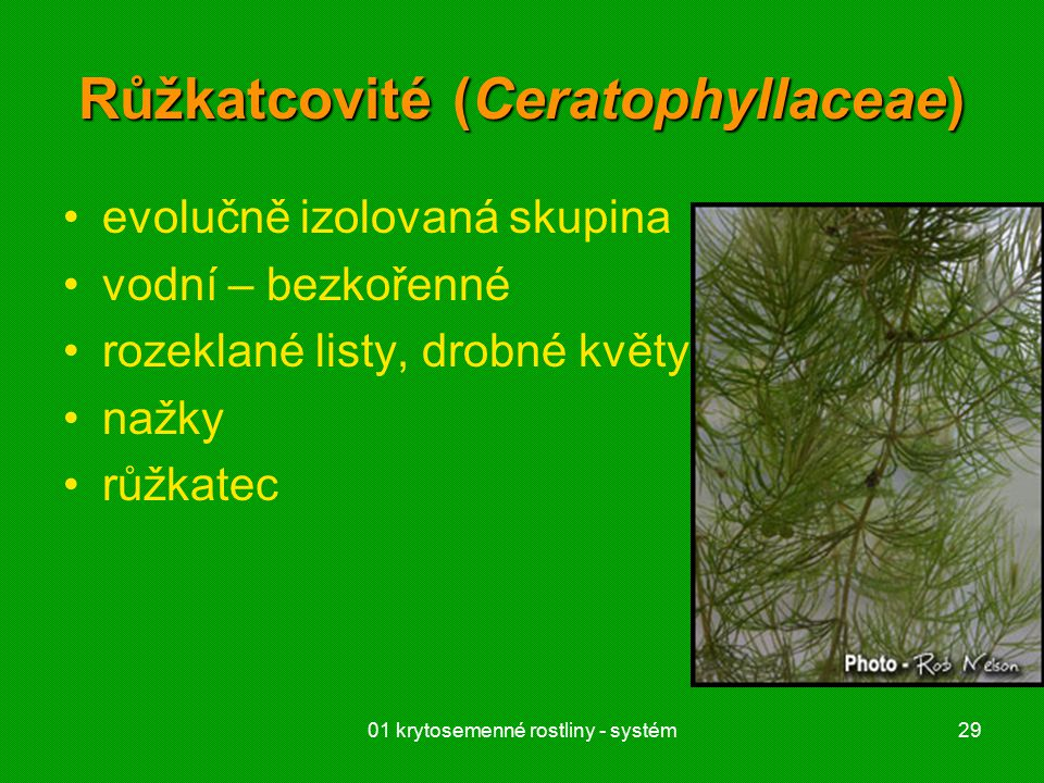 Růžkatcovité (Ceratophyllaceae)