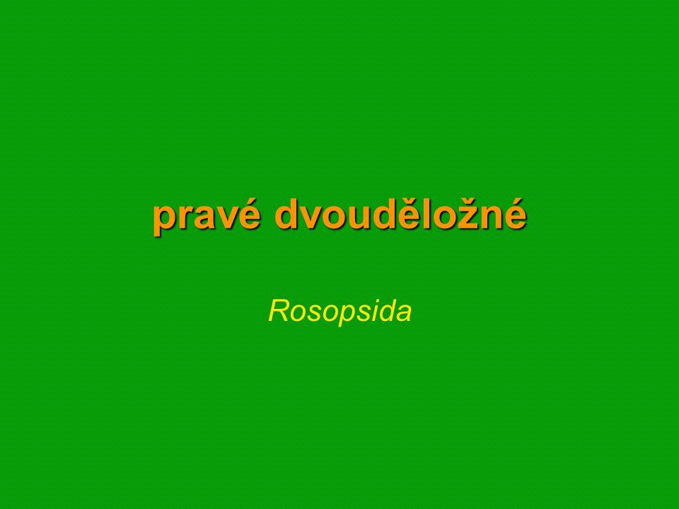 pravé dvouděložné Rosopsida