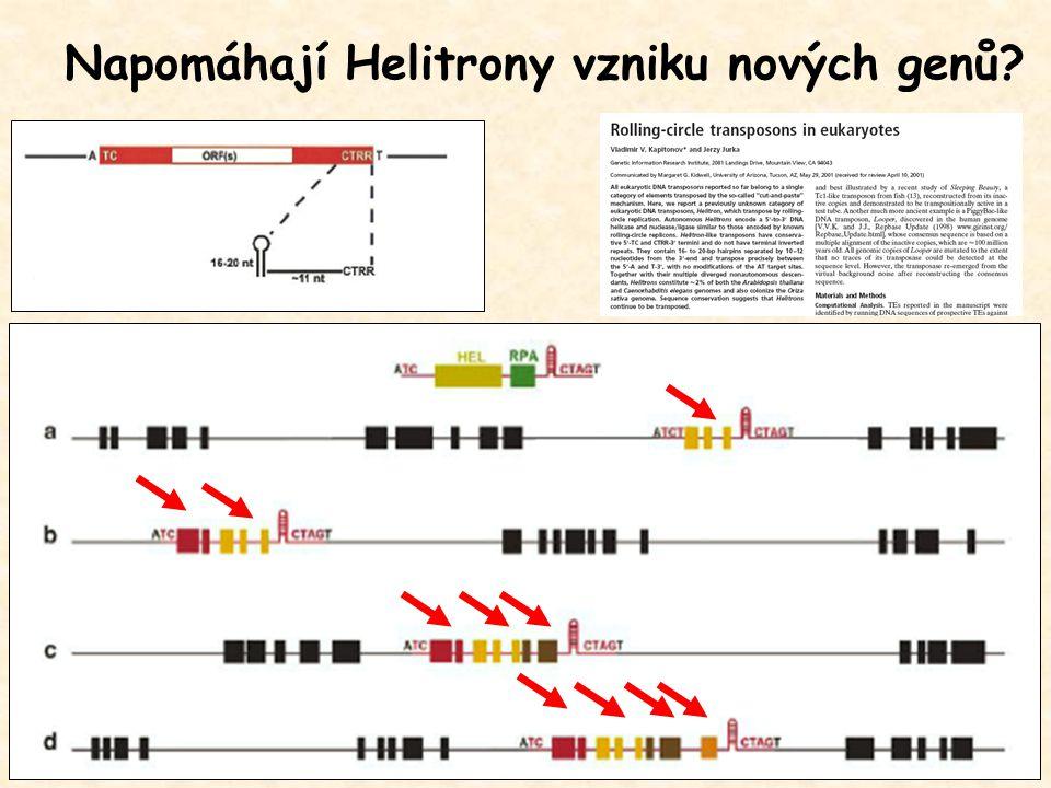 Napomáhají Helitrony vzniku nových genů