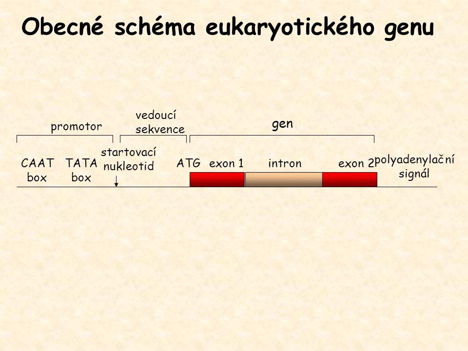 Obecné schéma eukaryotického genu