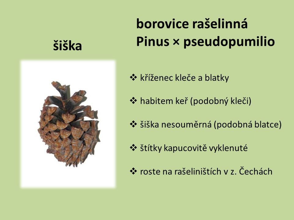 borovice rašelinná Pinus × pseudopumilio šiška kříženec kleče a blatky