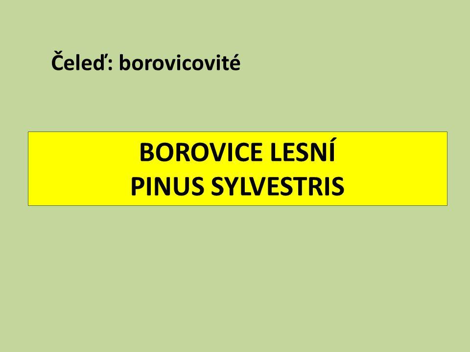 BOROVICE LESNÍ PINUS SYLVESTRIS