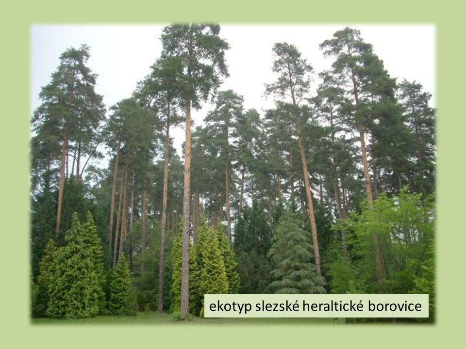ekotyp slezské heraltické borovice
