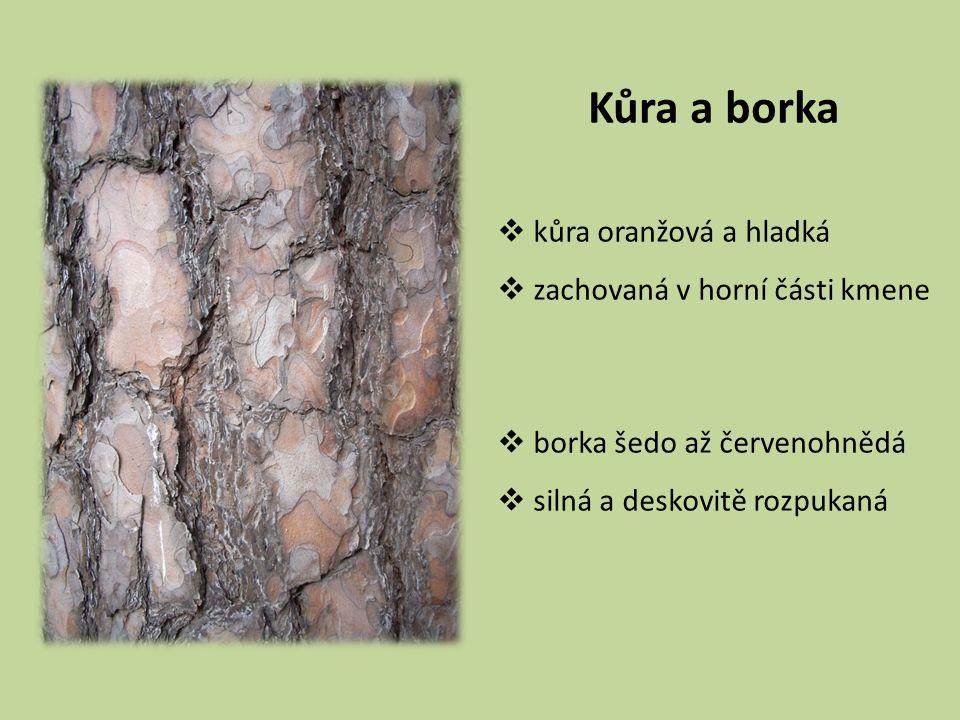 Kůra a borka kůra oranžová a hladká zachovaná v horní části kmene