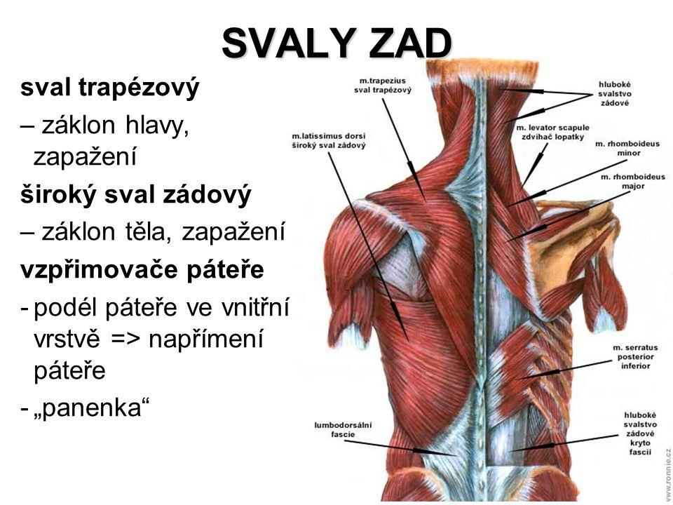 SVALY ZAD sval trapézový záklon hlavy, zapažení široký sval zádový