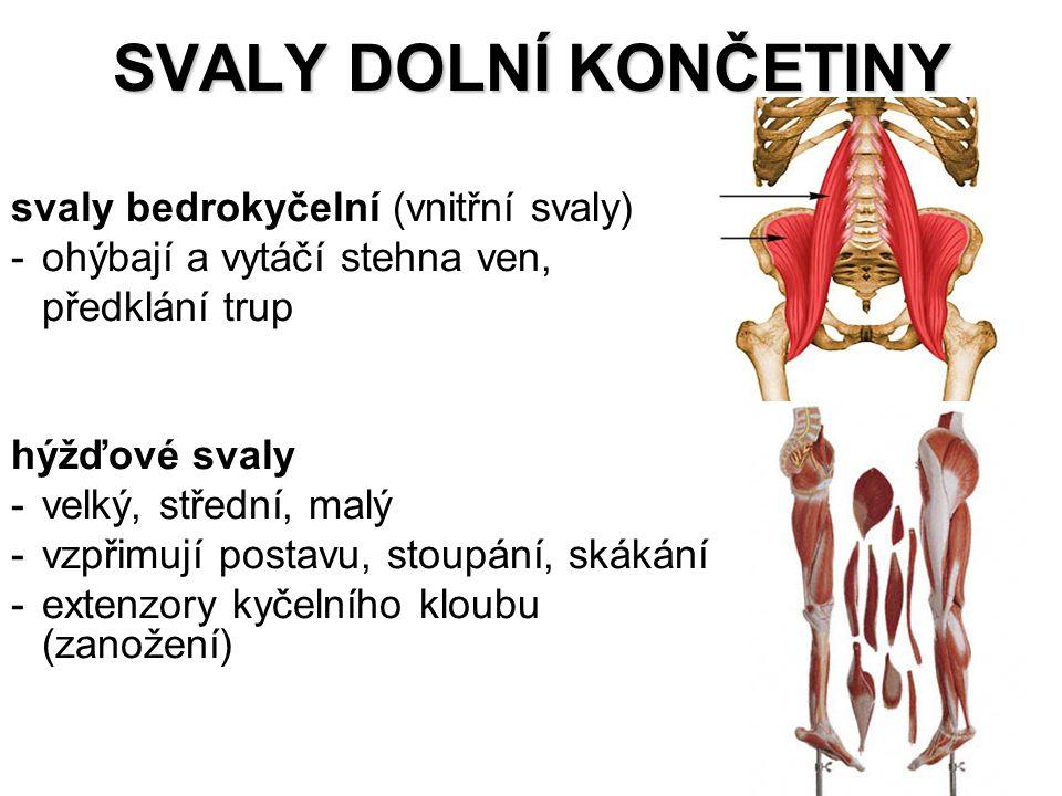 SVALY DOLNÍ KONČETINY svaly bedrokyčelní (vnitřní svaly)