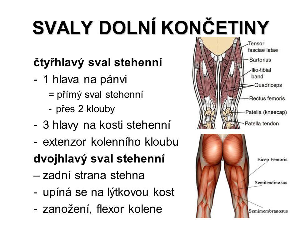 SVALY DOLNÍ KONČETINY čtyřhlavý sval stehenní 1 hlava na pánvi