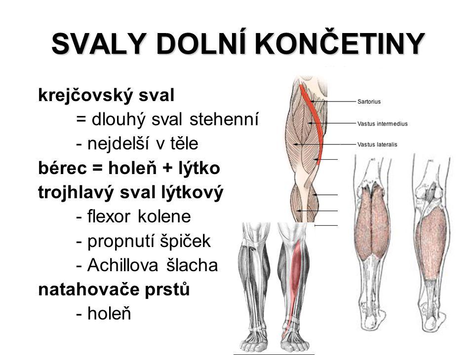SVALY DOLNÍ KONČETINY krejčovský sval = dlouhý sval stehenní