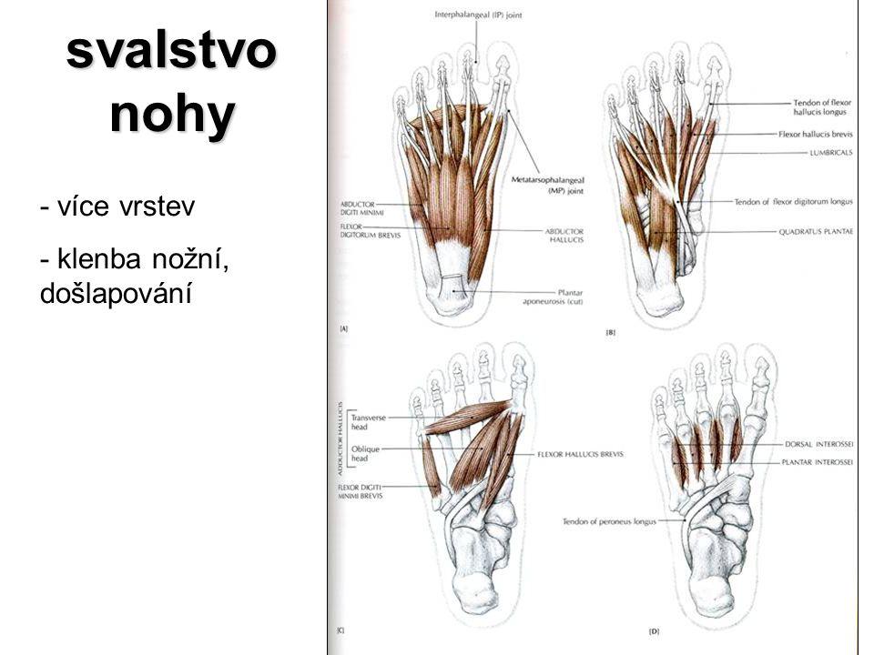 svalstvo nohy - více vrstev - klenba nožní, došlapování