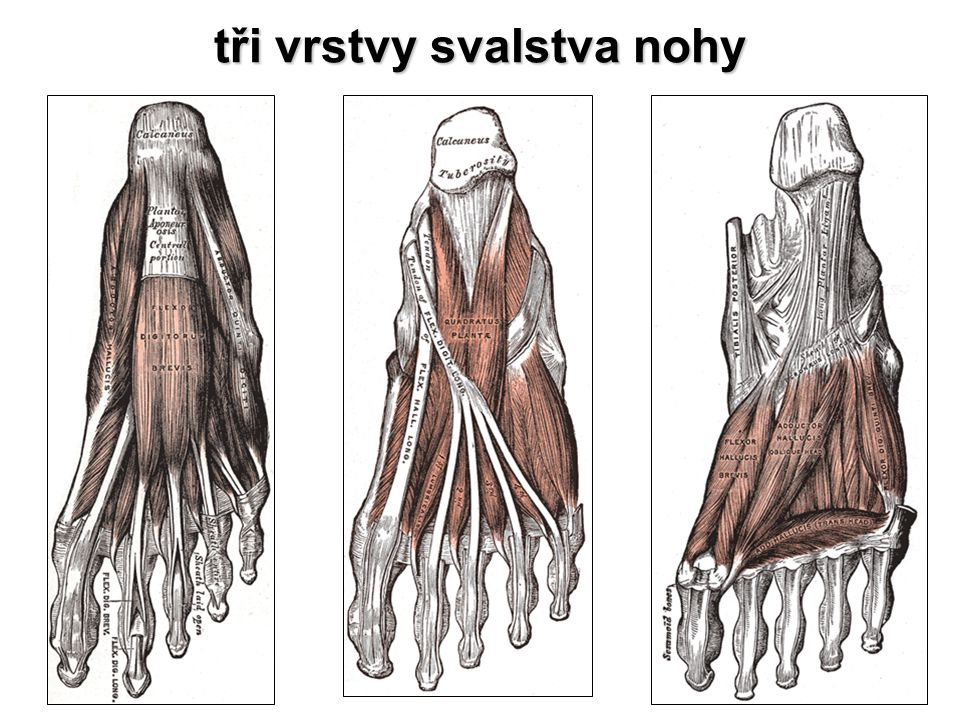 tři vrstvy svalstva nohy